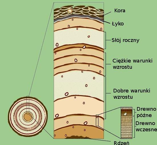 budowa drzewa